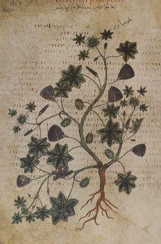 """Malakhê agria khersaia, Wiener Dioskurides, folio 228v, (copy of """"De materia medica"""" by Pedanius Dioscorides), 512 n. Chr."""