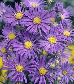 Aster 'Kicken Lilac Blue'