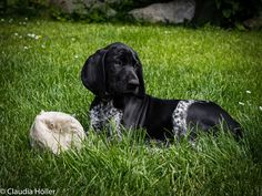 Dogs, Animals, Short Hair Up, Animales, Animaux, Pet Dogs, Doggies, Animal, Dog