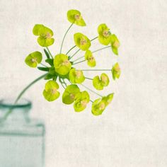 "Fine Art Flower Photography Print """"Cypress Spurge No. 3"""""