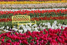 Check out these tips for visiting the Tulip Festival In Woodburn Oregon in the spring.