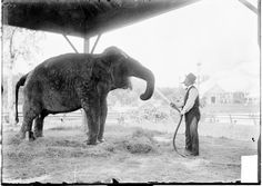 A thirsty elephant has a drink at the Lincoln Park Zoo on July 11, 1903, Chicago, Illinois. Photograph by Chicago Daily News, Inc. #Chicago #Animals #Elephant #LincolnParkZoo #Zoo #Thirsty