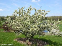 Redbud Crabapple - zumi colocarpa - KU Landscaping says this was among the crabs planted in '45 and might be the ones I remember so fondly