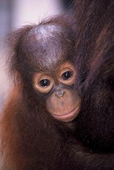 Natasha Female Orangutan Sepilok Borneo