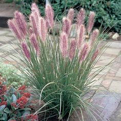 9 Fall Flowers for Autumn Color in the Garden Beds, Borders and Containers – Garden Furniture – Garden Projects Ornamental Grass Landscape, Ornamental Grasses, Tall Grasses, Fountain Grass, Garden Borders, Plantar, Plantation, Trees And Shrubs, Garden Inspiration