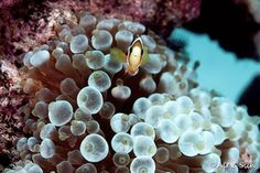 Sebae Clown Fish