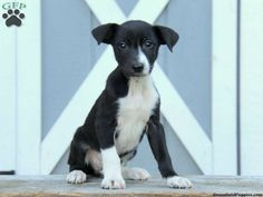 Giles, Border Collie Mix puppy for sale in Parkesburg, Pa