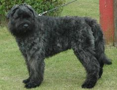 Bouvier des Flandres Dog Breed Images