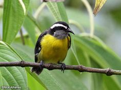 Bananaquit. A common bird found in Grand Cayman.