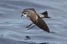 Pelagodroma marina/White‐faced Storm Petrel - Tenerife birds typically found in the Canaries from Lanzarote to Tenerife