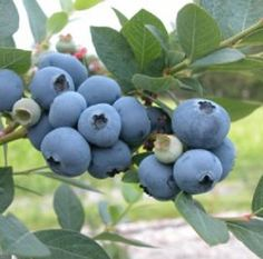 Huge Delicious Fruit and Beautiful Fall Color Good cold hardiness and consistent crops of The Patriot's gigantic fruit make this tops on the blueberry plant list. Expect pounds of luscious berries from just one bush! The Patriot Blueberry will give Blueberry Bushes For Sale, Blueberry Varieties, Blueberry Plant, Growing Blueberries, Organic Blueberries, Growing Grapes, Berry Plants, Fruit Plants, Fruit Garden