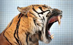 tygrys - Szukaj w Google
