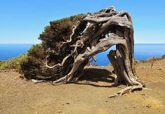 """El Hierro """"La Isla del Meridiano"""": El Sabinar, el bosque encantado de la isla de El H..."""