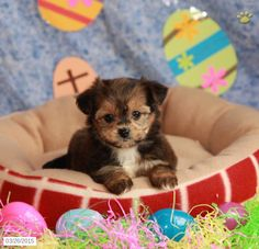 Shorkie Puppy for Sale in Pennsylvania Shorkie Puppies For Sale, Cute Puppies, Puppys, Mom And Dad, Pennsylvania, Anna, Dads, Animals, Cubs