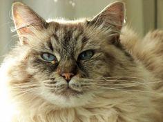"""""""I am soooo cute""""  siberian cat"""