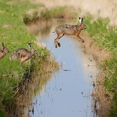 hares taking the big leap across a stream