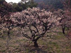 Sakura du jardin Ritsurin de Takamatsu, trésor National du Japon.