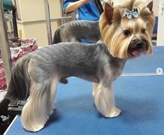 151 Extremely Cute Yorkie Haircuts for Your Puppy Yorkshire Terrier Haircut, Yorkshire Terrier Puppies, Terrier Dogs, Terrier Mix, Miniature Yorkshire Terrier, Yorkie Cuts, Dog Grooming Styles, Poodle Grooming, Yorkie Hairstyles