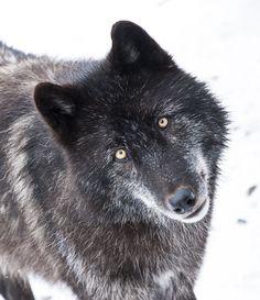 """llbwwb: """"Wolf, Zephyr by roni chastain """""""