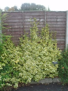 Euonymus fortunei 'Emerald 'n Gold' can be pruned to be mounded, or can be a climber.