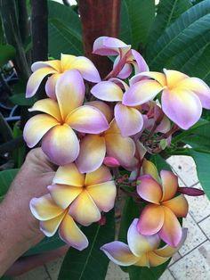 Gardening – Gardening Ideas, Tips & Techniques Hawaiin Flowers, Plumeria Flowers, Tropical Flowers, Exotic Flowers, Pretty Flowers, Plumeria Flower Tattoos, Lilies Flowers, Purple Flowers, Flower Lei
