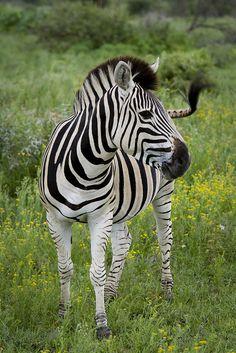 Zebra , Madikwe Game Reserve by Muzby1801*