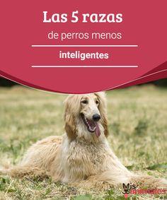 Las 5 razas de perros menos inteligentes Los perros nos alegran la vida con su amor y ternura. Sin embargo, hay algunos perros menos inteligentes que otros. ¡Sigue leyendo para saber más! #razas #inteligencia #caninos #adiestramiento