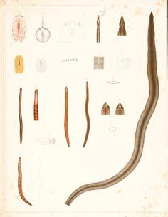 Turbellaria ad litora Norvegiae occidentalia. - Biodiversity Heritage Library