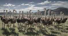 The Ostrich Council Photograph by Matthieu Moors -- National Geographic Your Shot
