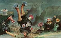 Sea anemones. Le Monde de la Mer  1866