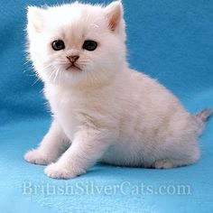 Space Coast Cattery Florida USA - British Silver Shaded Cats