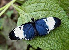 tropical butterflies - Google Search