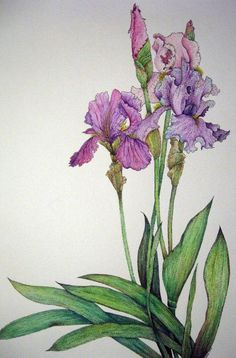 67 New Ideas For Watercolor Art Flowers Purple Iris Iris Painting, Painting & Drawing, Botanical Illustration, Botanical Prints, Illustration Art, Watercolor Flowers, Watercolor Paintings, Watercolors, Iris Art