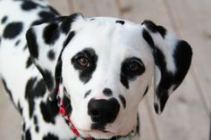 "Attentive Brodie - ""Brodie"", young male Dalmatian. Handsome dog with pleasing face. Close crop head shot with weathered deck background. Focused on eyes."