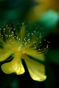 'Yellow*Green' by yoshiko314 ~ Tagged: Hypericum chinense (looks just like its Zone 7 relative, St. John's Wort... Hypericum perforatum... grow it and <3 it!)