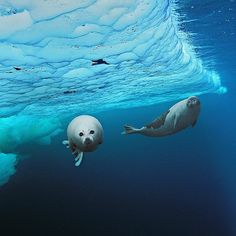 Photo by @BrianSkerry A harp seal pup about 2 weeks old makes its first swim beneath pack ice while mom watches from behind. Photographed on assignment for @natgeo in the Gulf of St. Lawrence Canada. Wishing everyone an Adventurous New Year Filled With Wonderful Discoveries #HappyNewYear #seals #nature #love #momandbabyanimal by natgeo