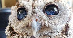 Zeus,the blind owl.