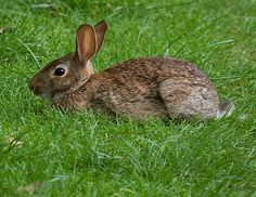 Win animal cage traps, repellents, and more. Rabbit Hide, Wild Rabbit, Nature Animals, Animals And Pets, Fine Gardening, Flower Gardening, Ice Plant, Call Of The Wild, Pet Cage