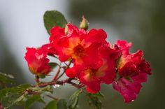 Flores rojas | #Flor #Flower
