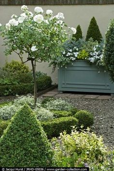 formal boxwood & white standard roses