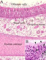 Image Result For Respiratory Trachea Slides Labeled Trachea
