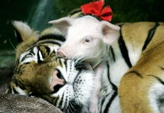 A piglet sleeps on a tiger at Siracha zoo, 80 km (50 miles) east of the Thai capital Bangkok on 2, July 2004.