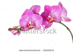 Image result for side view orchid branch
