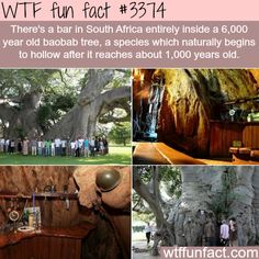 Sunland Baobab Tree Bar in Limpopo, South Africa Le Baobab, Baobab Tree, Oh The Places You'll Go, Cool Places To Visit, Places To Travel, Tree Bar, Just Dream, I Want To Travel, Weird Facts