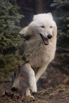 Wolf on the run!