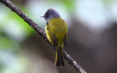 Grey-headed Canary-flycatcher (Grey-headed Flycatc