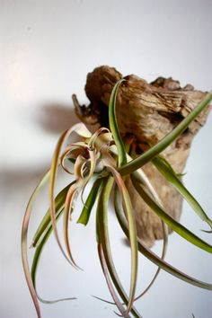 Tillandsia species are epiphytes (also called aerophytes or air plants) – i.e. they normally grow without soil while attached to other plants. Epiphytes are not parasitic, depending on the host only for support.