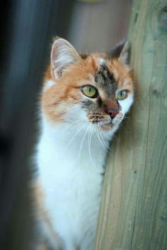 A lovely Calico DSH, Peering around the barn door just checking that all is right in her territory.