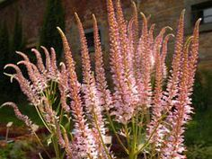 Virginiantädyke 'Pink Glow' | Taimimoisio