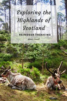 Besides visiting churches, castles and Loches along the beautiful Highlands of Scotland, you can also go reindeer trekking with actual reindeers!